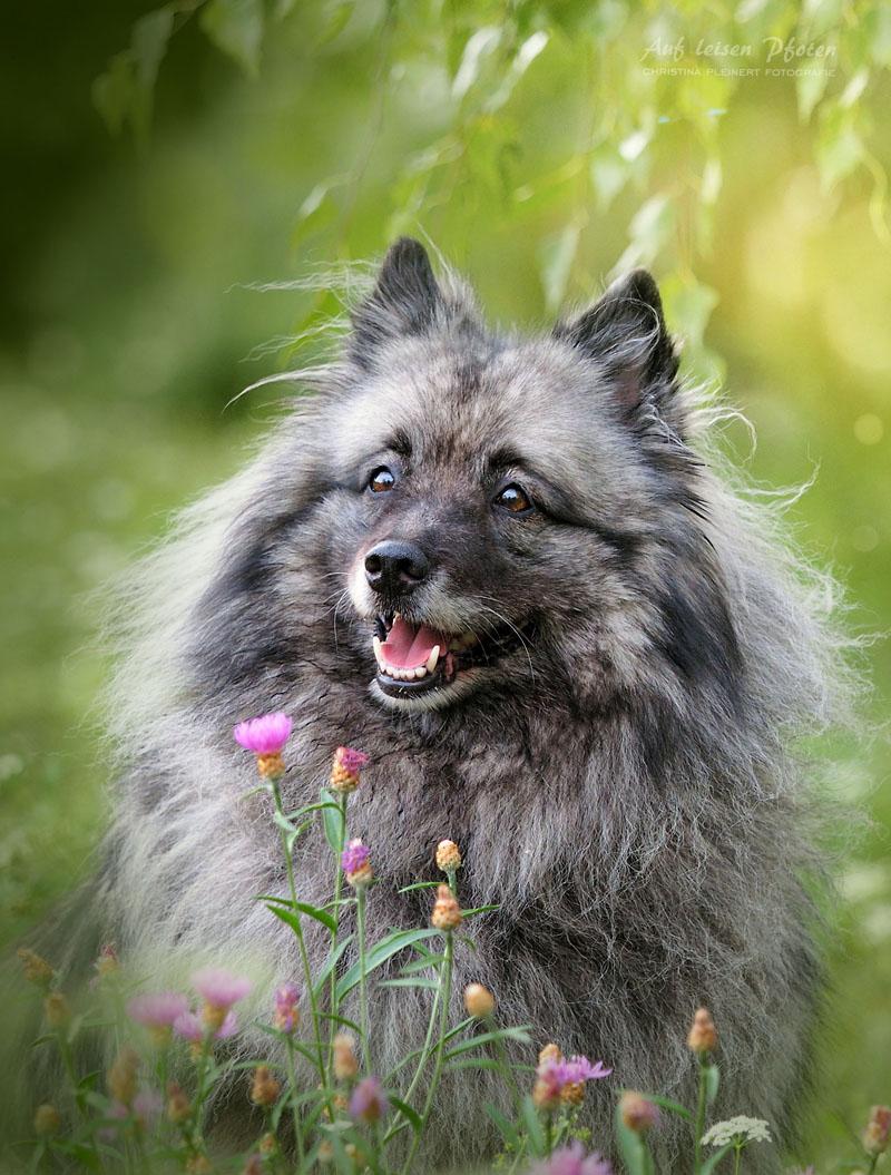 Wunderschöne Wolfspitz Hündin, mit Blümchen vor ihr