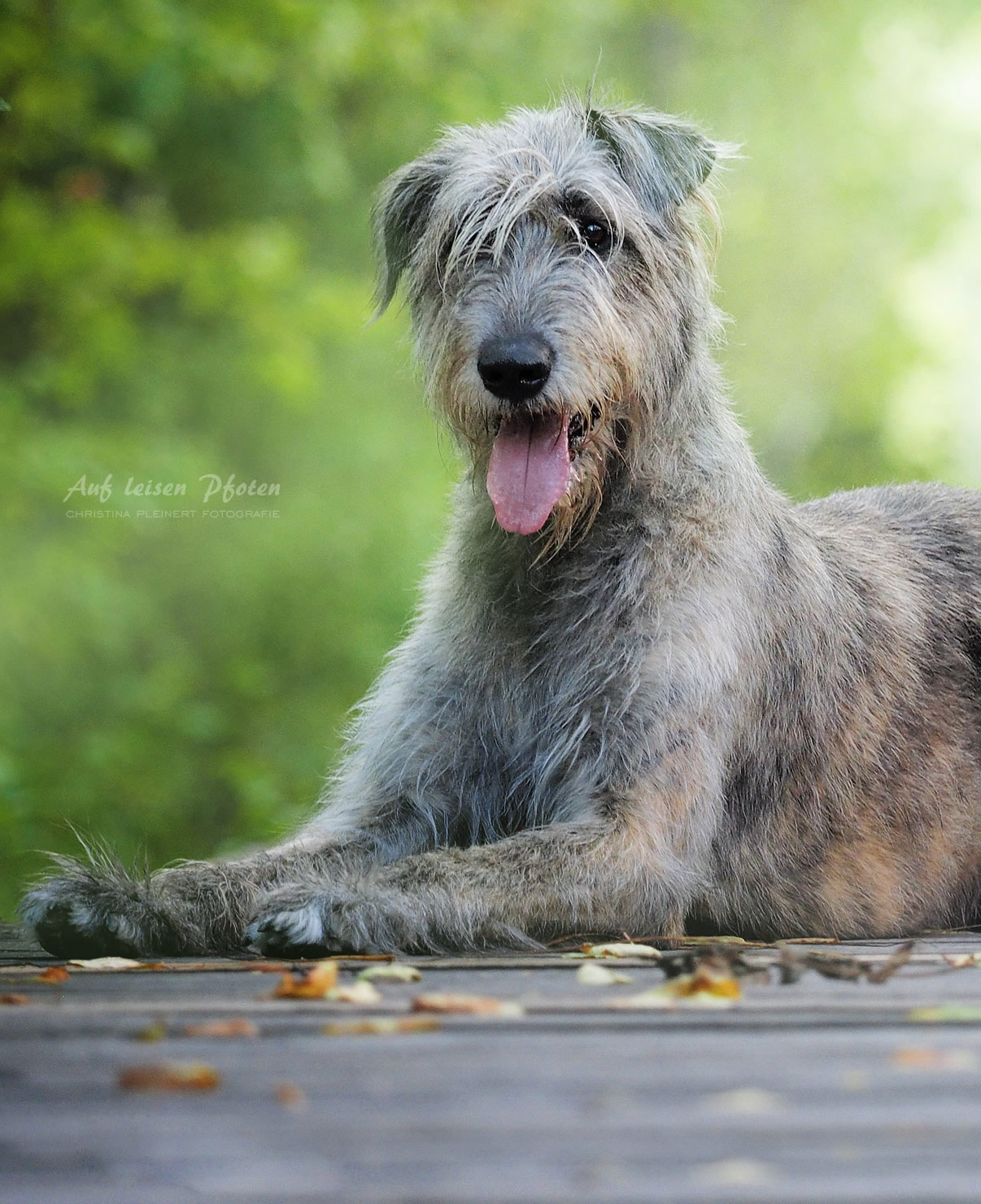 Elegante Irish Wolfhound Hündin